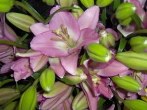Foto de coroa imperial lilás